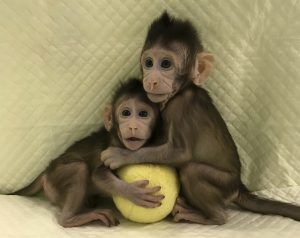 Scientists clone monkeys using technique that created Dolly the sheep